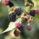 blackberry bush eden valley glamping